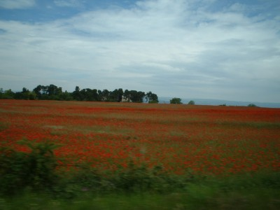 coquelicots; poppies